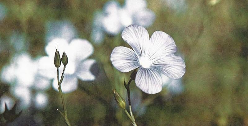 Fleur de lin, en gros plan