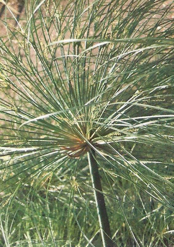 Une tige florifère de papyrus