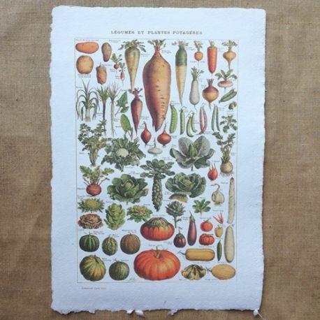 Poster affiche vintage sur papier fait main. Planche illustrée éducative sur les légumes