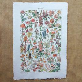 Poster affiche botanique vintage sur papier fait main. Planche illustrée éducative sur les fleurs