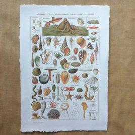 Poster affiche vintage sur papier fait main. Planche illustrée éducative sur les coquillages, mollusques