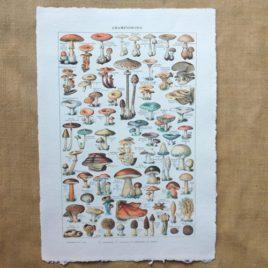 Poster affiche vintage sur papier fait main. Planche illustrée éducative sur les champignons