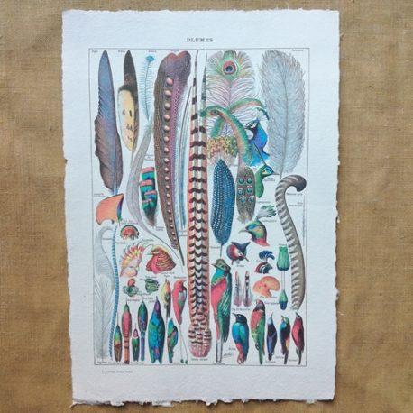Poster affiche vintage sur papier fait main. Planche illustrée éducative sur les oiseaux et les plumes